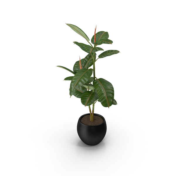 Rubber Tree Plant in Pot PNG & PSD Images