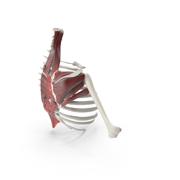Scapular Muscle PNG & PSD Images