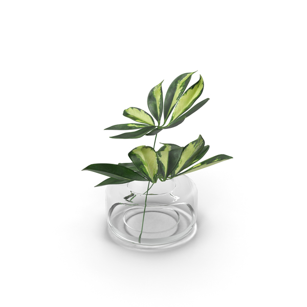 Schefflera Leaves PNG & PSD Images