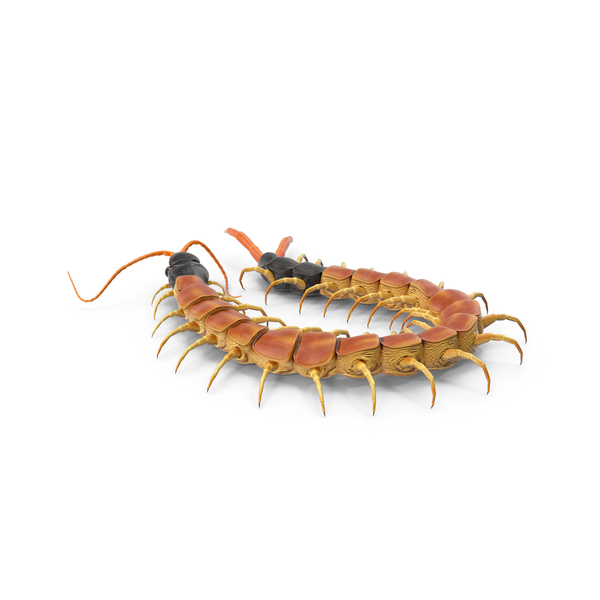 Scolopendra Heros Arizonensis PNG & PSD Images