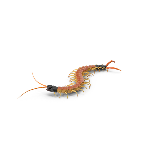 Centipede: Scolopendra Heros Arizonensis Crawling PNG & PSD Images