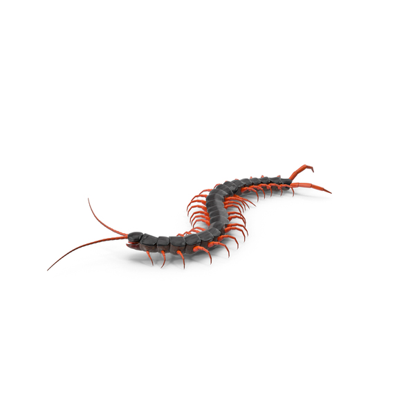 Scolopendra Subspinipes Crawling PNG & PSD Images