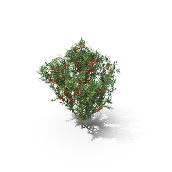 Sea Buckthorn Plant PNG & PSD Images