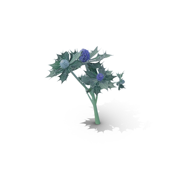 Sea Holly PNG & PSD Images