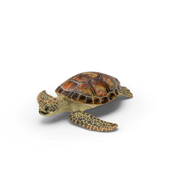 Sea Turtle PNG & PSD Images