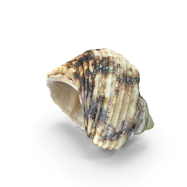 Sea Snail Shell: Seashell PNG & PSD Images