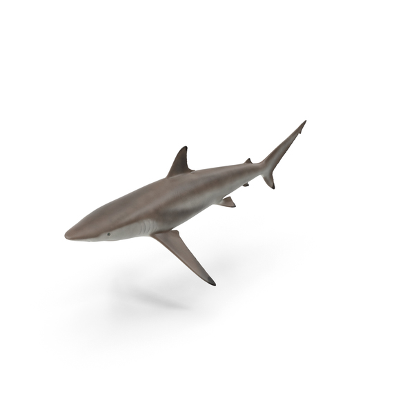 Shark PNG & PSD Images