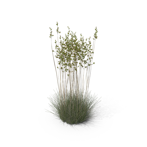 Grasses: Sheep Fescue PNG & PSD Images