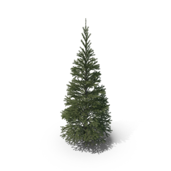 Evergreen: Short Conifer Tree PNG & PSD Images