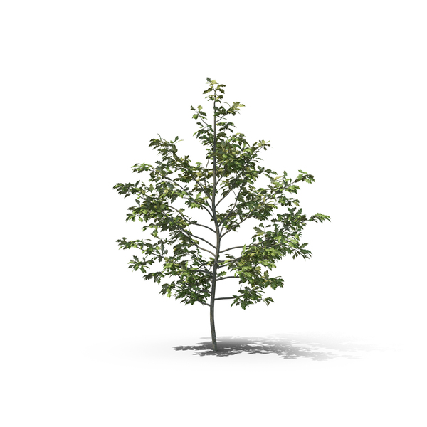 Tree: Shumard Oak PNG & PSD Images