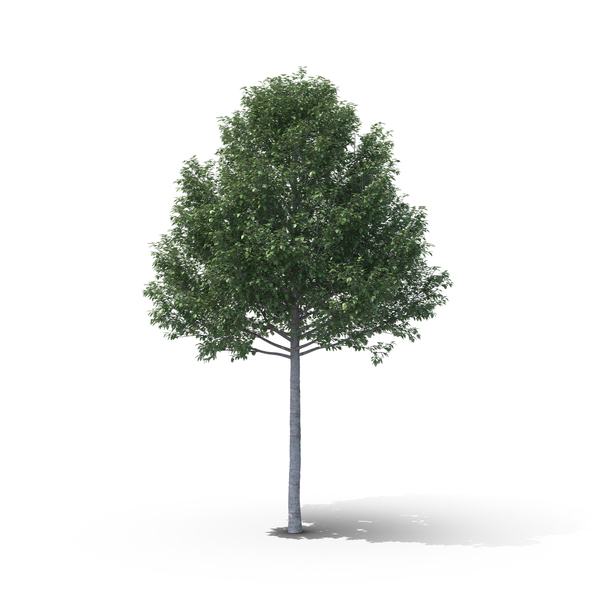 Silver Poplar PNG & PSD Images