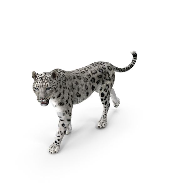 Snow Leopard Walking Pose PNG & PSD Images