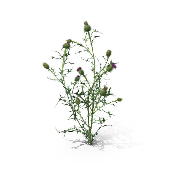 Plants: Spear Thistle (Cirsium Vulgare) PNG & PSD Images