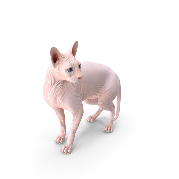 Sphynx Cat Cream PNG & PSD Images