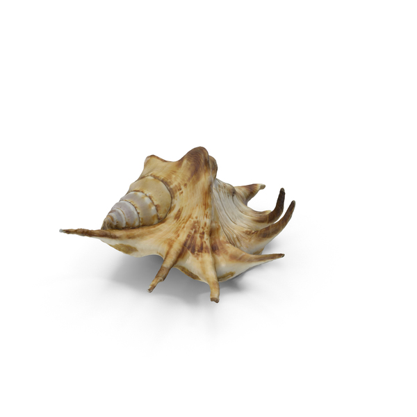 Spider Conch Shell PNG & PSD Images