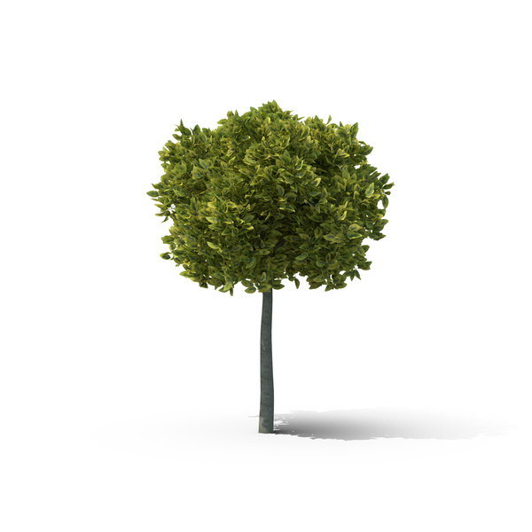 Spindle Tree PNG & PSD Images