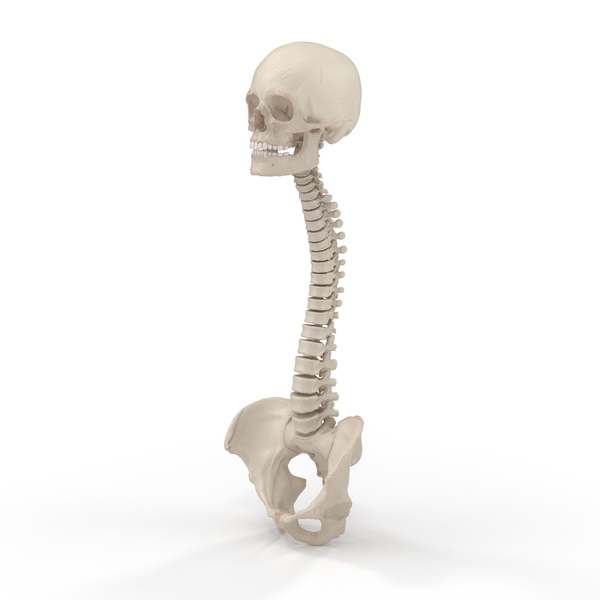 Skeletal System: Spine with Pelvis and Skull PNG & PSD Images
