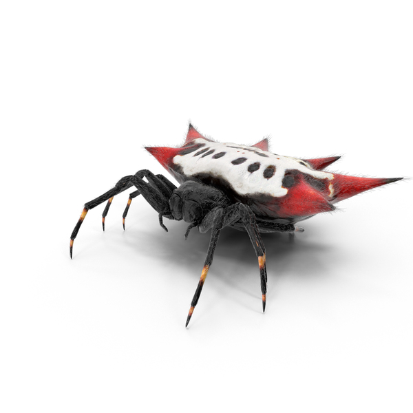 Spiny Orb Weaver Spider Object