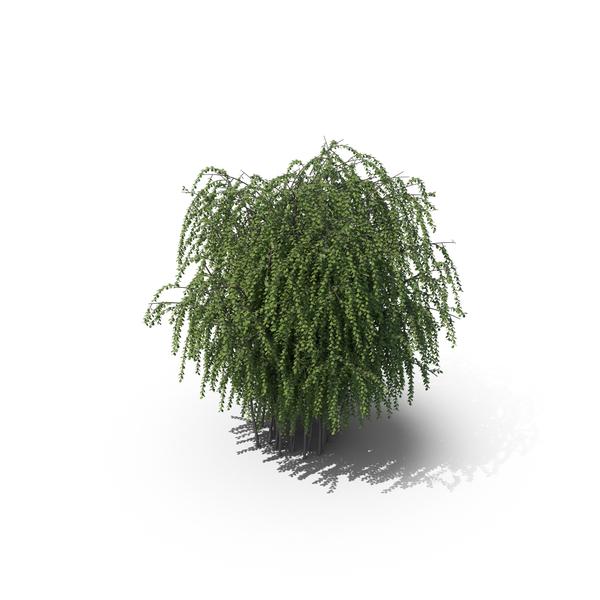 Spirea (Spiraea) Trimmed PNG & PSD Images