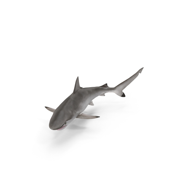 Spot-tail Shark PNG & PSD Images