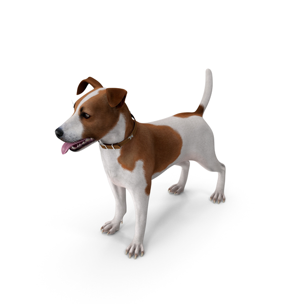 Spotted Jack Russell Terrier Attention Pose PNG & PSD Images