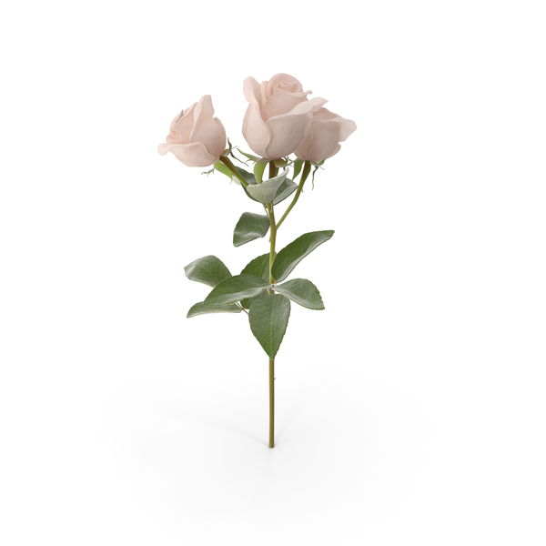 Spray Rose PNG & PSD Images