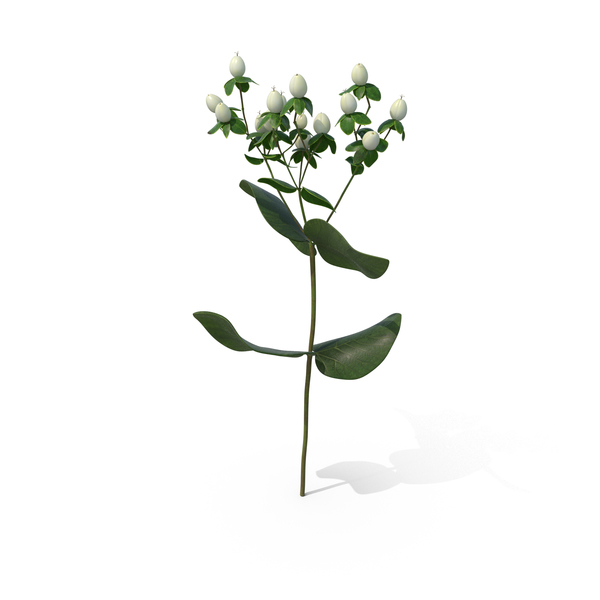 Flowering Plants: St. John's Wort PNG & PSD Images