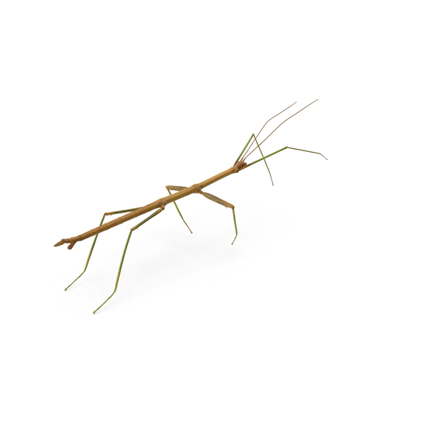Stick Insect PNG & PSD Images