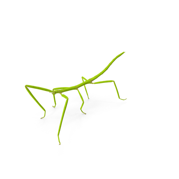 Stick Insect Green Walking Pose PNG & PSD Images
