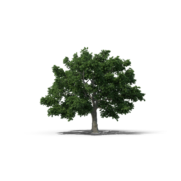 Sugar Maple Tree Object