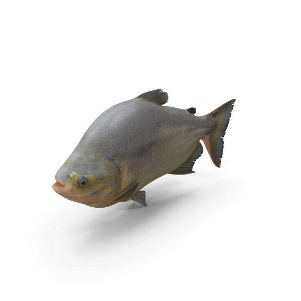 Tambaqui Fish PNG & PSD Images