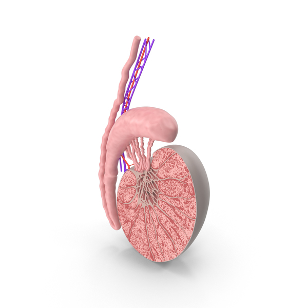 Testicle Anatomy PNG & PSD Images