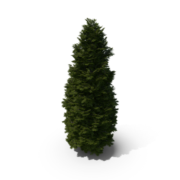 Arborvitae: Thuja Tree PNG & PSD Images