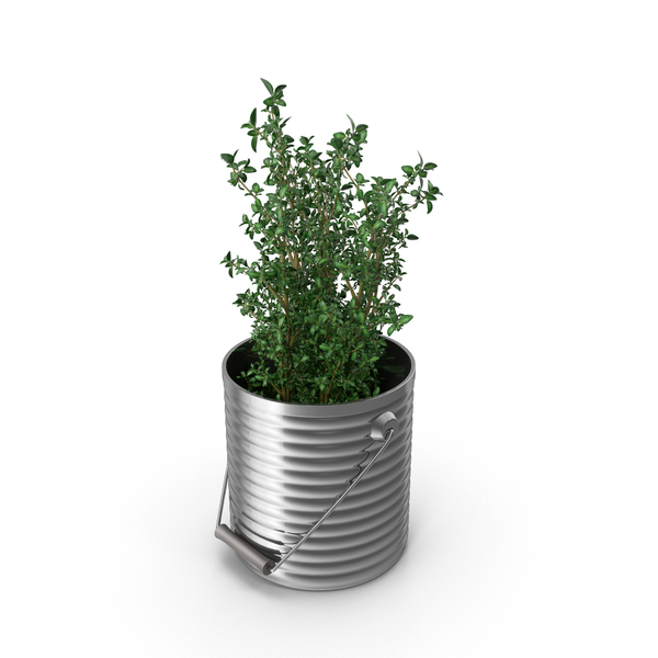 Thyme Plant PNG & PSD Images