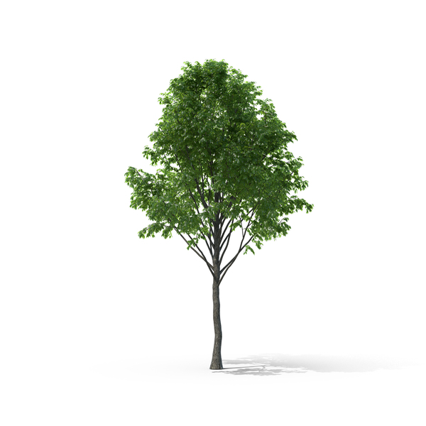 Tree: Tilia PNG & PSD Images