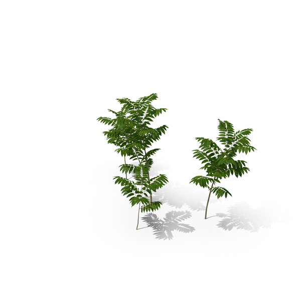 Toona Sinensis PNG & PSD Images