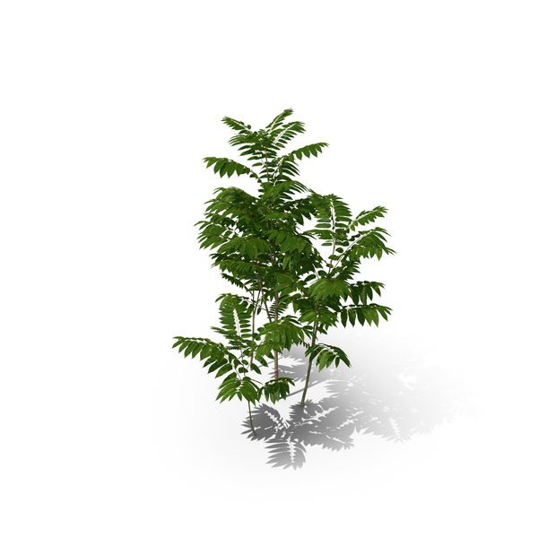 Tree: Toona Sinensis PNG & PSD Images