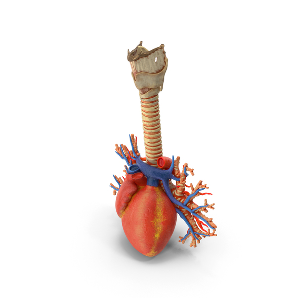 Trachea and Heart PNG & PSD Images