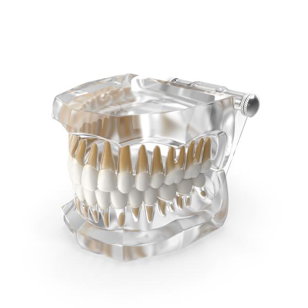 Mold: Transparent Dental Typodont Teeth Model PNG & PSD Images