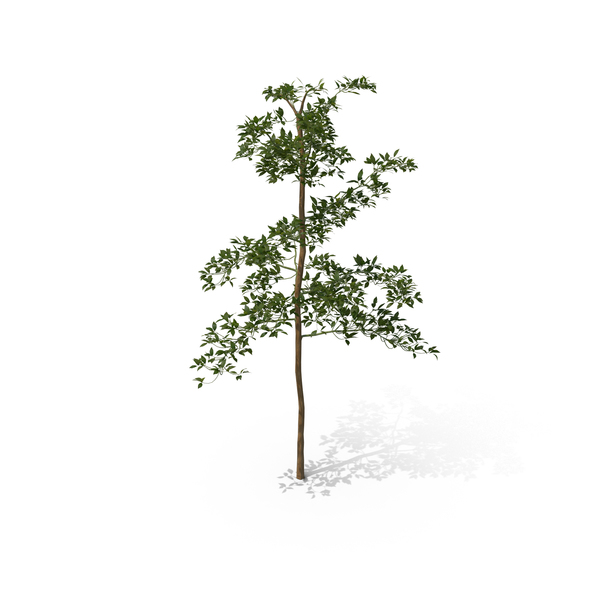 Tree Sapling PNG & PSD Images