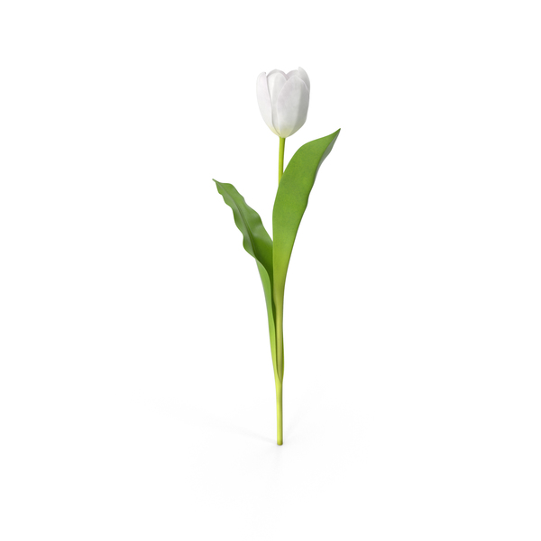 Tulip PNG & PSD Images