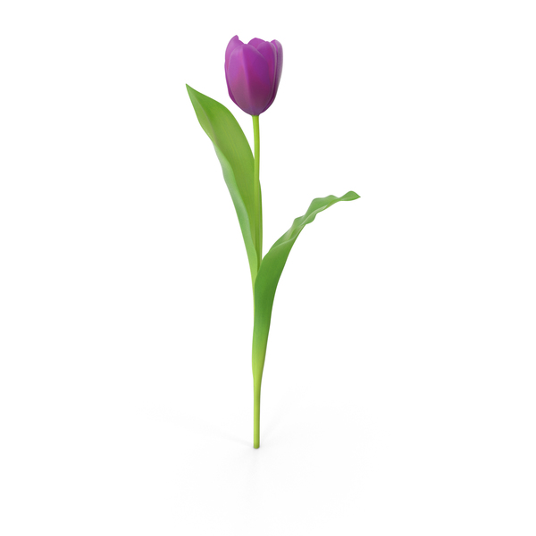 Tulips Purple PNG & PSD Images