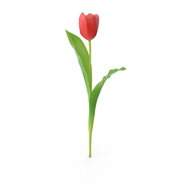 Tulips PNG & PSD Images