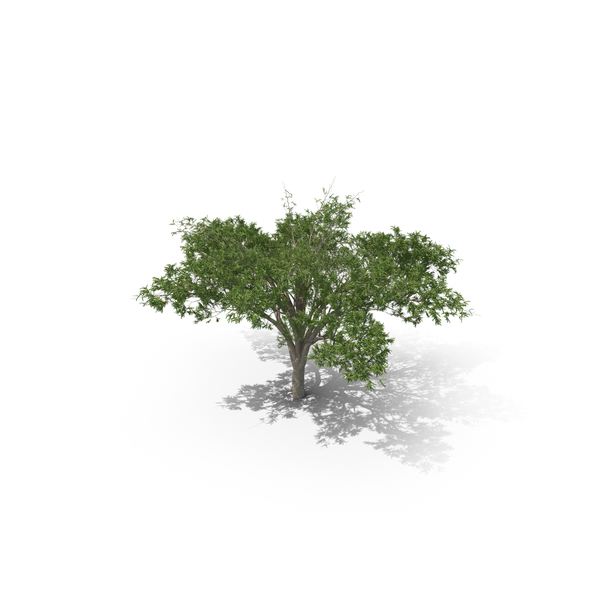 Umbrella Thorn Acacia Tree PNG & PSD Images