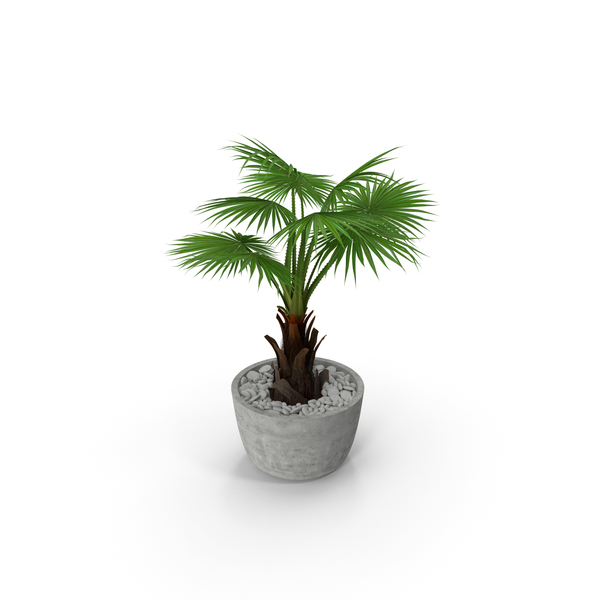Washingtonia Robusta Pot Plant PNG & PSD Images