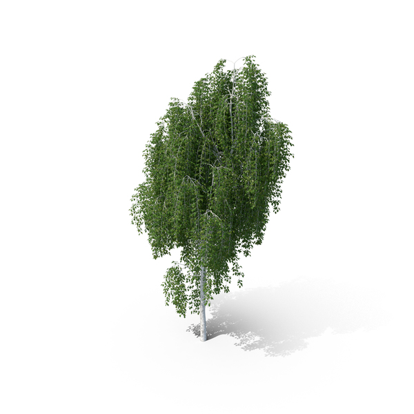Weeping Birch Tree PNG & PSD Images