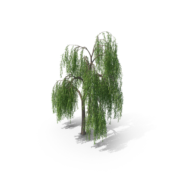 Weeping Willow Tree PNG & PSD Images