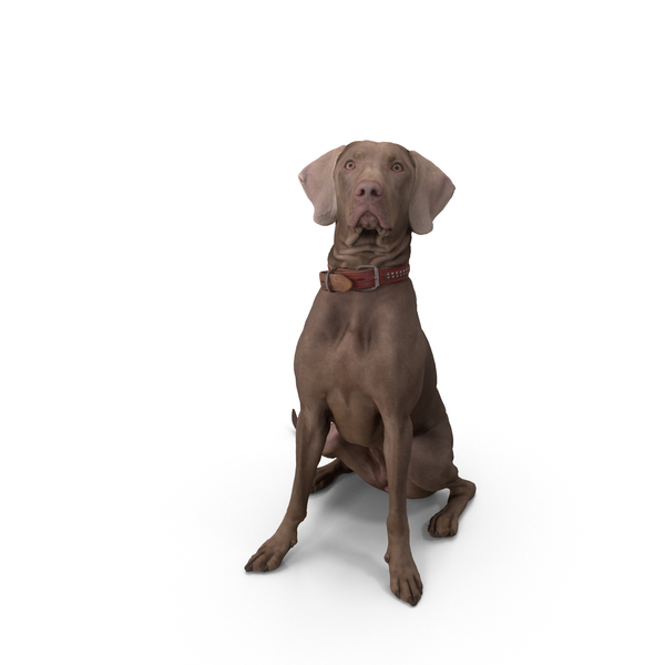 Weimaraner Dog Sitting PNG & PSD Images