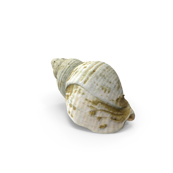 Seashell: Whelk Shell Object