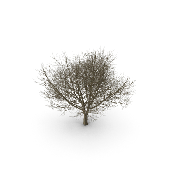 Tree: White Ash Winter PNG & PSD Images